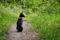 Basenji dog sits on a track in the woods on a hot summer day.  stock image