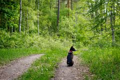 Basenji dog sits on a track in the woods on a hot summer day.  royalty free stock photo