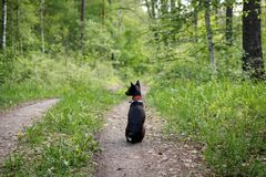 Basenji dog sits on a track in the woods on a hot summer day.  royalty free stock photography