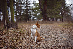 Basenji dog sits waiting for the host royalty free stock photography