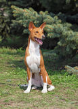 Basenji dog sitting on a green lawn Stock Images