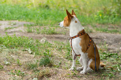 Basenji dog sitting on the ground and guarding nearest territory Stock Photography