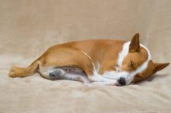 Basenji dog sleeping on a sofa Stock Images