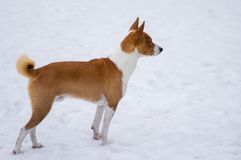 Basenji dog standing on a snow covered ground. And looking into the distance at winter season Stock Images