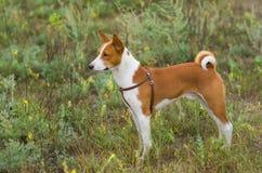 Basenji dog - troop leader. Cute Basenji dog - troop leader in the wild grass Royalty Free Stock Photos