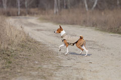 Basenji dog walking in the park. Spring day. At the dog wearing vest Stock Photos