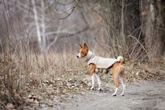 Basenji dog walking in the park. Spring day. At the dog wearing vest Stock Images