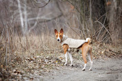 Basenji dog walking in the park. Spring day. At the dog wearing vest Royalty Free Stock Images