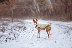 The Basenji dog walks in the park. Winter cold day. Snow falls Royalty Free Stock Photos