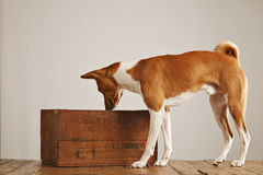 Basenji dog with a wooden wine crate Stock Photo