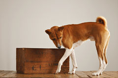 Basenji dog with a wooden wine crate Royalty Free Stock Images