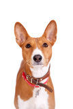 Basenji dog, 2 years old, isolated on white Royalty Free Stock Image