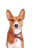 Basenji dog, 2 years old, isolated on white Royalty Free Stock Image
