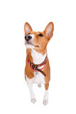 Basenji dog, 2 years old, isolated on white Stock Image