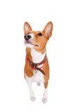 Basenji dog, 2 years old, isolated on white Stock Image