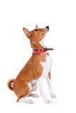 Basenji dog, 2 years old, isolated on white Stock Photography