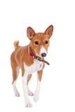 Basenji dog, 2 years old, isolated on white Stock Photo