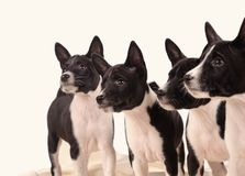 Free Basenji Dogs Puppie On The Grey Background Stock Images - 157083694