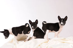 Basenji dogs puppies Stock Images