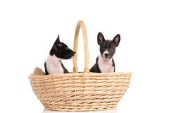 Basenji dogs puppy in the basket Stock Images
