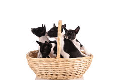 Basenji dogs puppy in the basket Stock Image