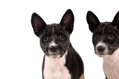 Basenji dogs puppy Royalty Free Stock Photography