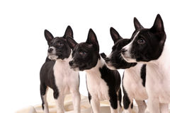 Basenji dogs puppy Stock Image