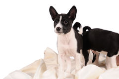 Basenji dogs puppy Stock Photos