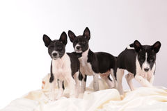 Basenji dogs puppy Royalty Free Stock Images