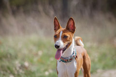 Basenji dogs walk in the park. Spring. Sunny day Stock Photos