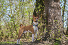 Basenji dogs walk in the park. Spring. Sunny day.  In the shade of a large tree Royalty Free Stock Image
