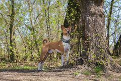 Basenji dogs walk in the park. Spring. Sunny day.  In the shade of a large tree Stock Photo