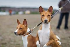 Basenji för två hundkapplöpning på hundkapplöpning för en koppel Stående Royaltyfri Bild