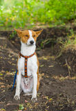 Basenji feels comforted sitting on the dirty earth Royalty Free Stock Photo