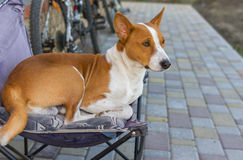 Basenji having rest on a back yard sitting in an old collapsible chair. Cute basenji having rest on a back yard sitting in an old collapsible chair Royalty Free Stock Photos