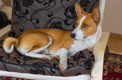 basenji having rest in a chair Royalty Free Stock Photo