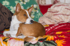 Basenji having rest on a favorite place. On sofa Stock Photo