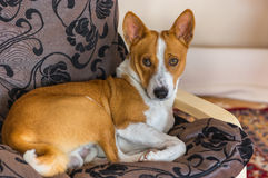 Basenji having rest on its favorite place in the chair. Cute basenji having rest on its favorite place in the chair Stock Photos