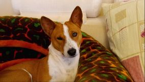 Basenji having rest a sofa and watching stock footage