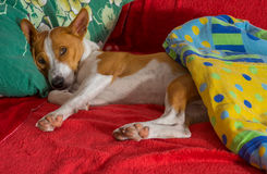 Basenji having siesta on favorite place in the bed Royalty Free Stock Image