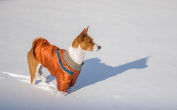 Basenji hesitating play when it see so much snow Royalty Free Stock Photos