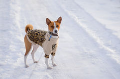 Basenji hesitating to play when it see so much snow Royalty Free Stock Photos
