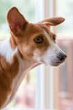 Basenji Hound dog Stock Photography