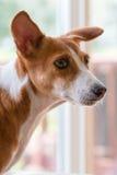 Basenji Hound dog Stock Photography