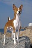 Basenji Hund Lizenzfreies Stockbild