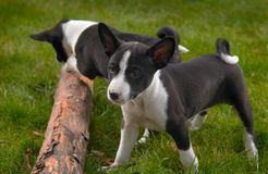 Basenji Hund lizenzfreies stockfoto