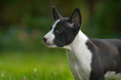 Basenji Hund lizenzfreie stockbilder