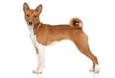 Basenji hund Arkivfoto