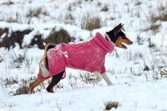 Basenji hund Arkivbilder