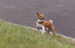 Basenji-Hund auf dem grünen Gras Lizenzfreies Stockbild
